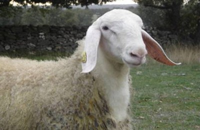Assaf sheep